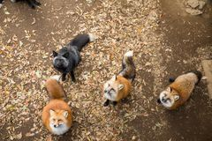 Gruppe des Fuchses nach Lebensmittel suchend Lizenzfreies Stockbild