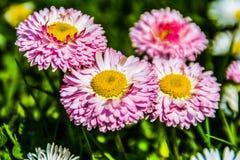 Gruppe des Gänseblümchens Stockfotos