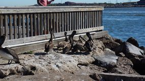 Gruppe des Galveston-Braunpelikans Stockbild