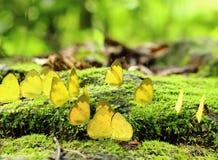Gruppe des gelben Monarchfalters im Wald Stockfoto
