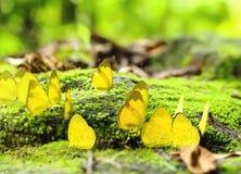 Gruppe des gelben Monarchfalters im Wald Lizenzfreie Stockfotos