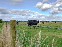 Gruppe des gesehenen Weiden lassens der Milchkühe innerhalb der Grenzen einer großen Wiese lizenzfreie stockfotos