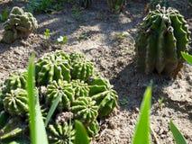 Gruppe des goldenen Ball-Kaktus stockfotos