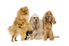 Gruppe des Hundes Stockfotografie