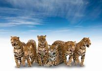 Gruppe des Jaguars Stockfotografie