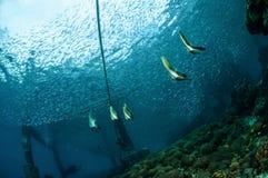 Gruppe des jugendlichen Schwimmens longfin Batfish herum in Gili, Lombok, Nusa Tenggara Barat, Indonesien-Unterwasserfoto Lizenzfreies Stockfoto