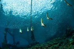 Gruppe des jugendlichen Schwimmens longfin Batfish herum in Gili, Lombok, Nusa Tenggara Barat, Indonesien-Unterwasserfoto Stockbild