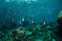 Gruppe des jugendlichen Schwimmens longfin Batfish herum in Gili, Lombok, Nusa Tenggara Barat, Indonesien-Unterwasserfoto Lizenzfreie Stockfotos