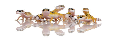 Gruppe des jungen Leopard Gecko - Eublepharis macular stockfotos