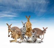 Gruppe des Kängurus Stockfotos