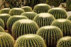 Gruppe des Kaktus Stockbild