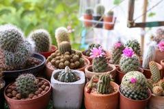 Gruppe des Kaktus mit bunter Blume im Topf Stockbild