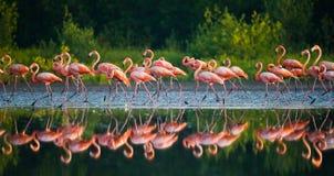 Gruppe des karibischen Flamingos, der im Wasser mit Reflexion steht kuba Lizenzfreies Stockbild
