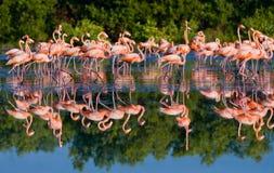 Gruppe des karibischen Flamingos, der im Wasser mit Reflexion steht kuba Stockfotos