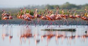 Gruppe des karibischen Flamingos, der im Wasser mit Reflexion steht kuba Stockbilder