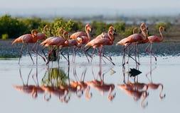 Gruppe des karibischen Flamingos, der im Wasser mit Reflexion steht kuba Lizenzfreie Stockfotografie