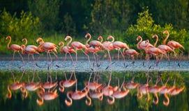 Gruppe des karibischen Flamingos, der im Wasser mit Reflexion steht kuba Stockfoto
