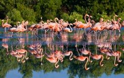 Gruppe des karibischen Flamingos, der im Wasser mit Reflexion steht kuba Stockbild