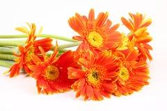 Orange Gerberablume lokalisiert auf Weiß Lizenzfreie Stockbilder