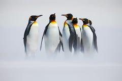 Gruppe des Pinguins Gruppe von sechs Königpinguinen, Aptenodytes patagonicus, gehend vom weißen Schnee zum Meer in Falkland Islan Lizenzfreies Stockbild
