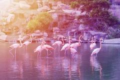 Gruppe des rosa Flamingostands im Wasser Lizenzfreie Stockbilder