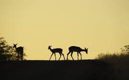 Gruppe des roten Impala Stockfoto