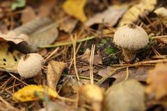 Gruppe des schönen Pilzes in einem Wald Stockbild
