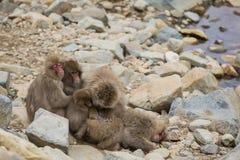 Gruppe des Schnee-Affe-Die Köpfe zusammensteckens Lizenzfreies Stockbild