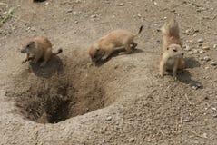 Gruppe des schwarzschwanzigen Grasland-Murmeltiers - Cynomys ludovicianus Stockbilder