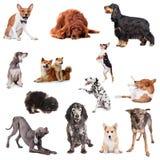 Gruppe des Spielens von Hunden auf Weiß Stockfotografie