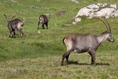 Gruppe des Steinbocks in den Alpen Lizenzfreies Stockfoto