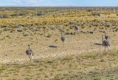 Gruppe des Straußes an der Patagonia-Landschaft, Argentinien Lizenzfreies Stockfoto