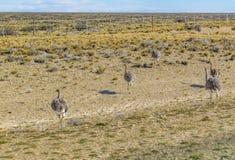 Gruppe des Straußes an der Patagonia-Landschaft, Argentinien Stockbilder