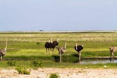 Gruppe des Straußes in der Savanne Kenia, Afrika Stockfotografie