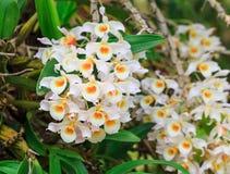 Gruppe des weißen Orchideenfanges auf dem großen Baum im Garten Stockbild