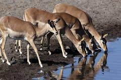 Gruppe des weiblichen Impala Stockbild