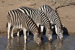 Gruppe des Zebratrinkens Stockbilder
