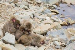 Gruppe die Köpfe zusammensteckende und pflegende Schnee-Affen Stockbild