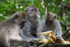 Gruppe einziehende Affen, Ubud, Indonesien Stockfotos