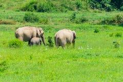 Gruppe Elefanten auf Wiese stockbild