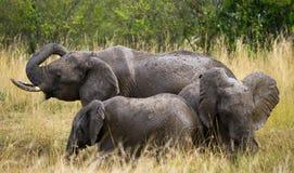 Gruppe Elefanten in der Savanne afrika kenia tanzania serengeti Maasai Mara Lizenzfreies Stockfoto