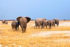 Gruppe Elefanten groß und kleine Junge auf Hintergrund des gelben Grases und des blauen Himmels in Nationalpark Etosha, Namibia,  lizenzfreies stockfoto