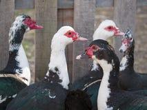 Gruppe Enten Stockbild