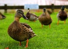 Gruppe Enten auf dem Gras Lizenzfreies Stockfoto