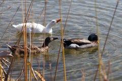 Gruppe Enten auf dem Wasser Lizenzfreie Stockbilder