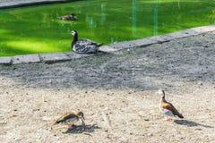Gruppe Enten an den verschiedenen Spezies des Teichs Lizenzfreies Stockbild