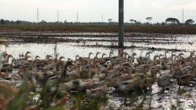 Gruppe Enten, die über Muddy Water Filled Field laufen stock footage