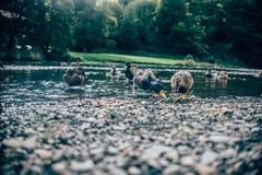 Gruppe Enten, die Brot essen Stockbild