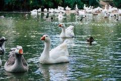Gruppe Entengänse, die im Teich schwimmen lizenzfreie stockfotografie
