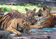 Gruppe entspannende Tiger Lizenzfreie Stockfotografie